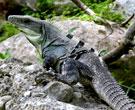 Экотур в Мексику: посещение фермы игуан (Iguana Farm) недалеко от Пуэрто-Эскондидо (Puerto Escondido)