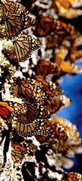 Экологический экскурсионный тур в Мексику 'Царство бабочек-монархов'. Миграция 300 миллионов бабочек!