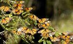 Мексика: заповедник бабочек-монархов