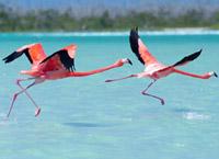 Розовые фламинго на Рио-Лагартос (Rio Lagartos), Крокодиловой реке. Экскурсии в Канкуне и на Ривьера Майя.