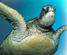 Оливковая морская черепаха ридлея (Lepidochelys olivacea). Экологический тур в Мексику 'МОРСКИЕ ЧЕРЕПАХИ МЕКСИКИ'.