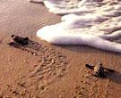 Только что вылупившиеся черепашата бегут к морю... Экологический экскурсионный тур-экспедиция в Мексику 'МОРСКИЕ ЧЕРЕПАХИ МЕКСИКИ'